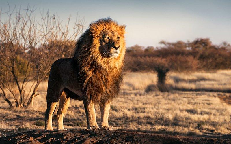 Avoir un lion comme animal domestique, c'est possible !