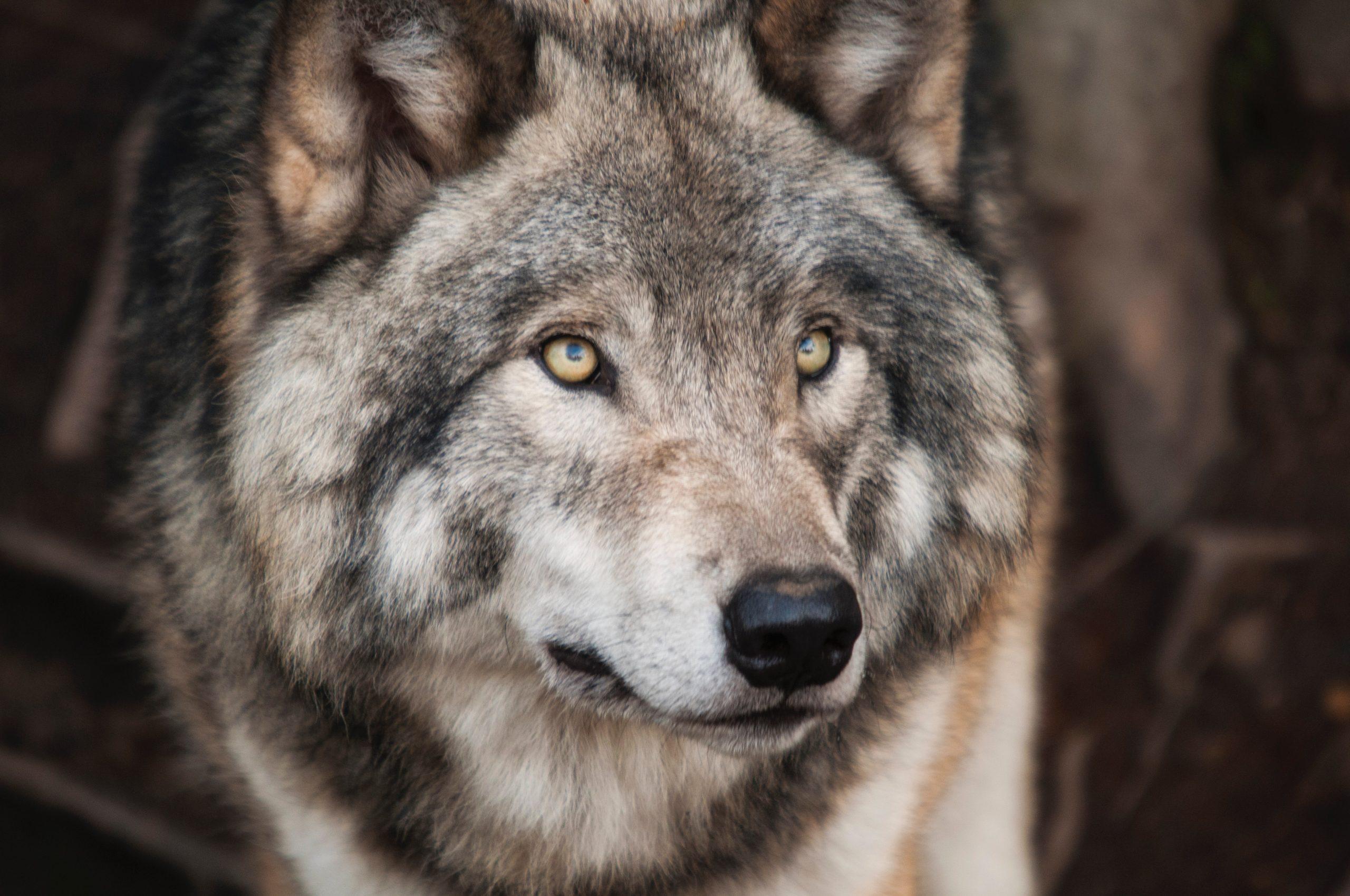 Comment faire une déco sur la thématique du loup?