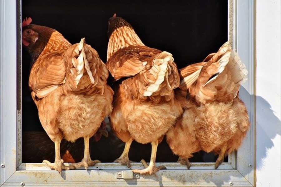 Poulailler : quel type choisir pour vos poules ?