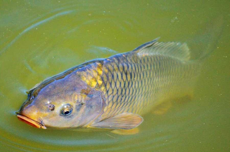Carpe : Tout savoir sur ce poisson d'eau douce de la famille des Cyprinidae